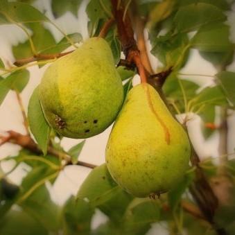 beeld Comtesse de Paris vrucht perenboom